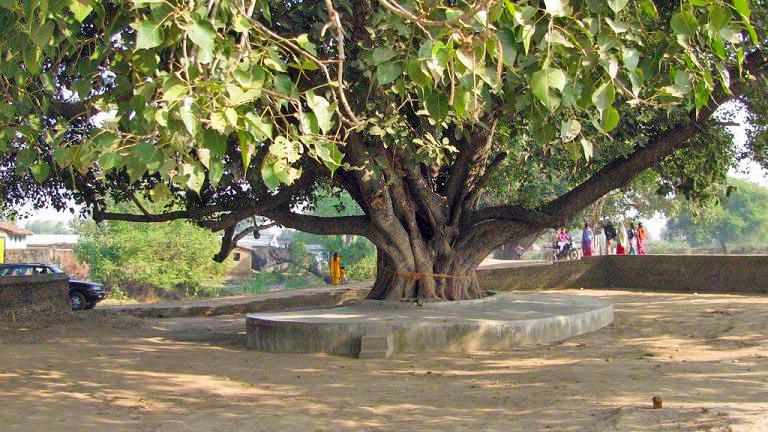 peepal-tree2