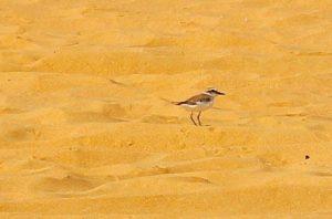 یہ پرندہ پلور یا زقزاق اور مرغ بہاراں بھی کہلاتا ہے۔ یہ ہنگول کے قریب کند ملیر ساحل پر کثیر تعداد میں پایا جاتا ہے۔