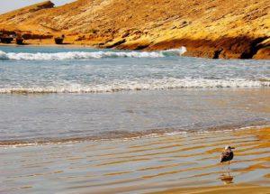 ساحل اور اس پر چلتے ایک سیگل (سمندری بگلا) کا دلفریب منظر۔