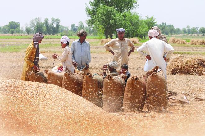 گندم کی سرکاری قیمت اور کسان کی مصیبت