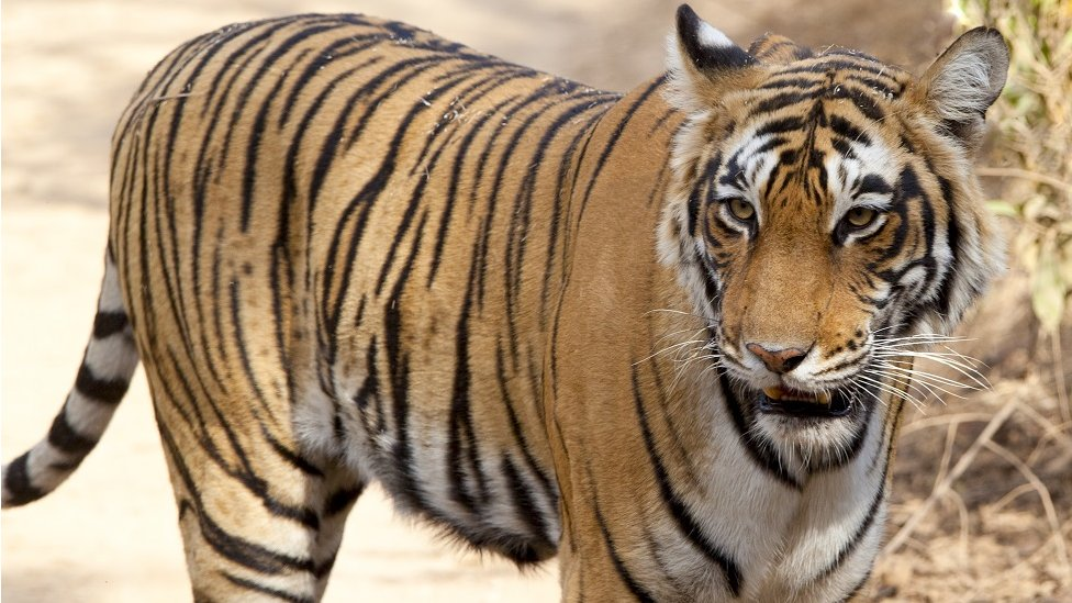 A tiger in a sandy area