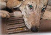 کتے اور بھیڑیے کی نسل ملا کر 'ولف ڈاگ' پیدا کرنے کے لیے پاکستان میں بھیڑیوں کی نسل کشی