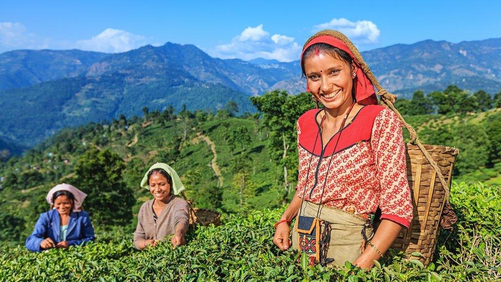 دارجلنگ میں چائے کے باغات میں لڑکیاں کام کر رہی ہیں