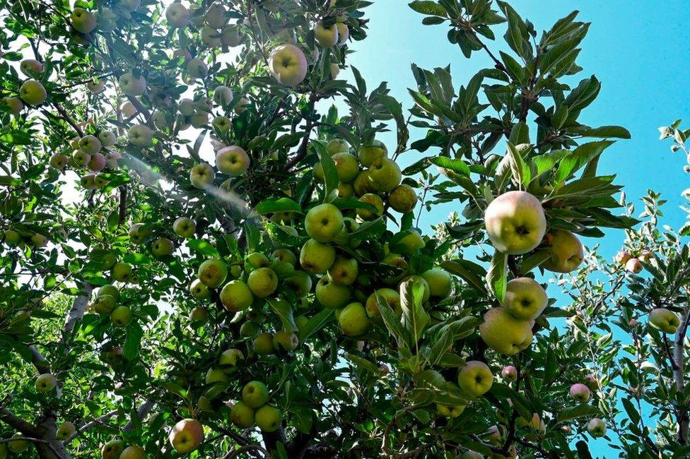 شوپیان ڈسٹرکٹ میں سیب کا باغ