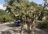 کراچی: بوہڑ کا دودھ موجود مگر برگد کے درخت لاپتہ