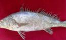 سوّا: وہ مچھلی جس نے پاکستانی ماہی گیروں کو راتوں رات لکھ پتی بنا دیا