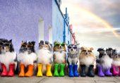 شیٹ لینڈ کے ماڈل کتے جن کے فوٹو شوٹ کے لیے ٹریفک بھی رک گئی