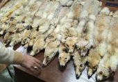 نایاب جانور: پاکستان میں برفانی تیندوے سمیت معدومیت کے خطرے سے لاحق جانوروں کے اعضا اور کھالوں کا کاروبار کہاں تک پھیلا ہوا ہے؟