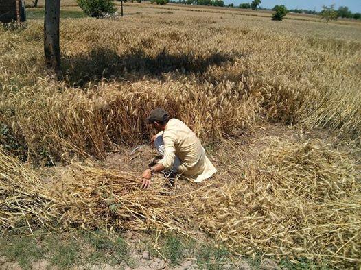 گندم کی سرکاری قیمت