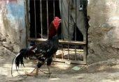 سندھ میں آٹھ ماہ بعد مرغے کی پولیس تحویل سے رہائی