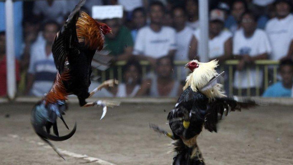 مرغوں کی لڑائی