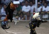 فلپائن: مرغوں کی لڑائی پر چھاپہ مارنے والے پولیس افسر کو مرغے نے حملہ کر کے ہلاک کر دیا