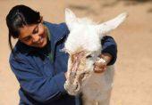 اسپین: کرونا کے باعث ڈپریشن کے شکار طبی عملے کے لیے  'ڈونکی تھراپی'