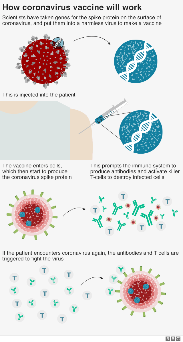 How the coronavirus vaccine works: The vaccine is made from a weakened version of a common cold virus (known as an adenovirus) from chimpanzees that has been modified so it cannot grow in humans. Scientists then added genes for the spike surface protein of the coronavirus. This should prompt the immune system to produce neutralising antibodies, which would recognise and prevent any future coronavirus infection.