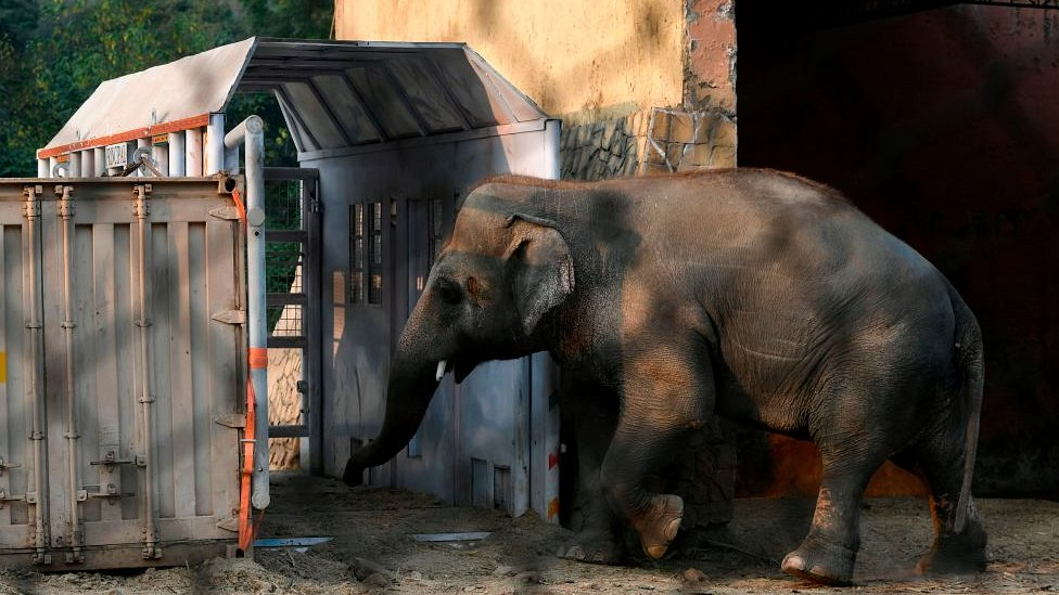 Kaavan is enticed into the crate at the Marghazar Zoo in Islamabad on November 11, 2020