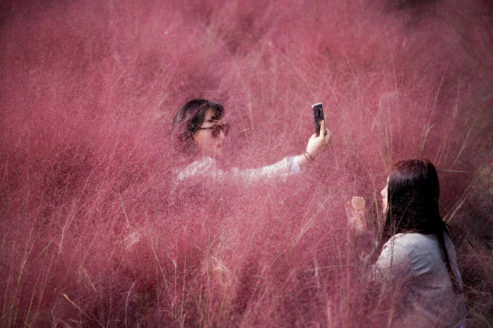 13 اکتوبر کو جنوبی کوریا کے شہر ہینام میں ایک خاتون گلابی مہلی گھاس کے کھیت میں سیلفی اتار رہی ہے۔