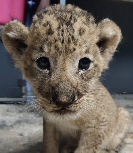 Simba the cub