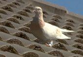 کبوتر کی 13 ہزار کلو میٹر کی اڑان؟