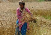 پاکستان میں گندم بحران: جب 25 سے زیادہ افراد کو دعوت پر بلانا ممنوع قرار دیا گیا