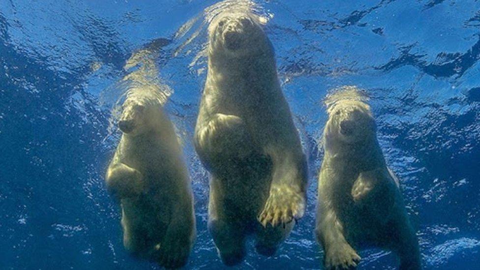 خلیج ہڈسن میں تین قطبی ریچھ