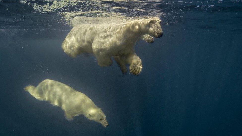 تین قطبی ریچھ