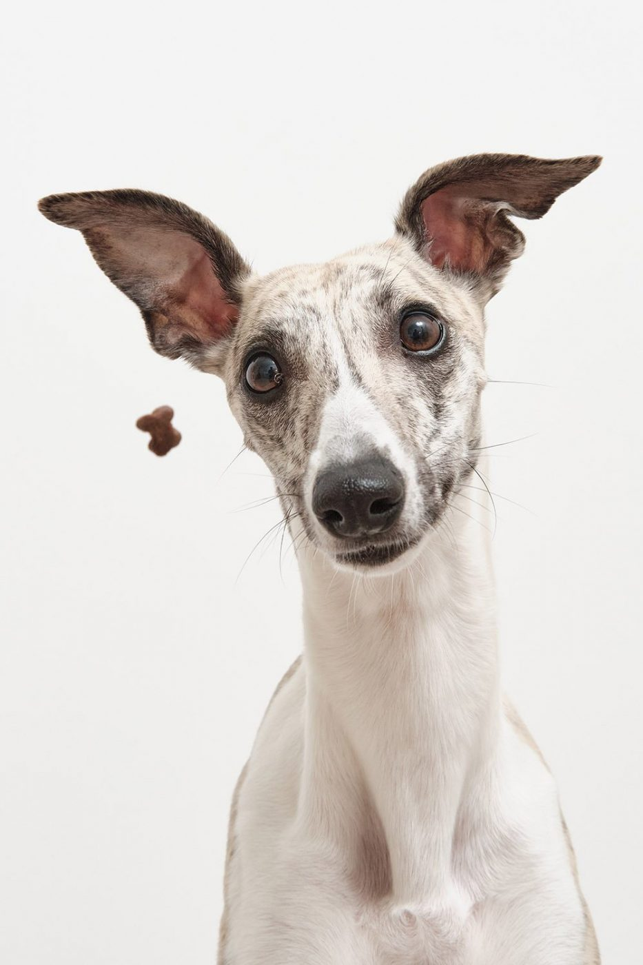 Whippet catching snacks