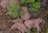 اب اور کتنا چلیں گے؟: چین میں ہاتھیوں کا جھنڈ تھک ہار کر سو گیا