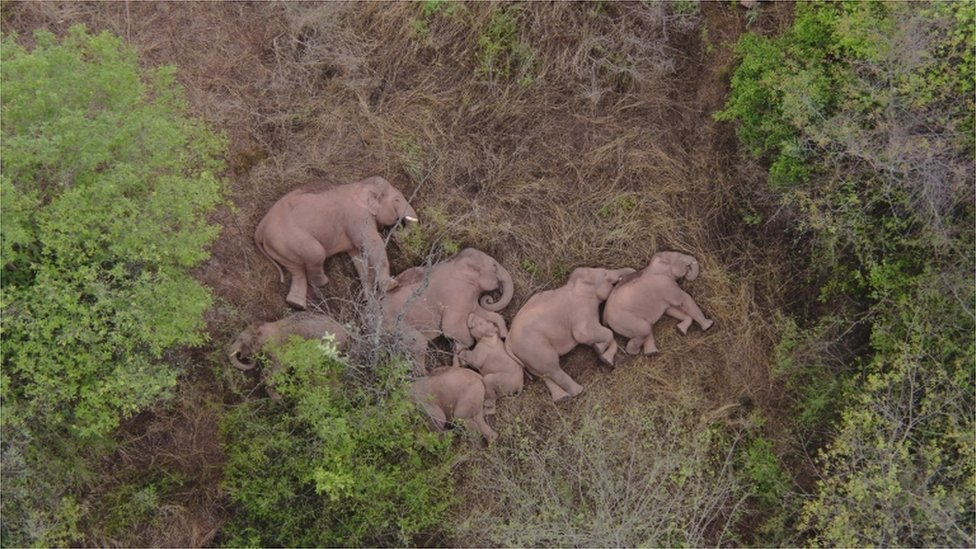 Wild Asian elephants lie on the ground and rest in Jinning district of Kunming, Yunnan province