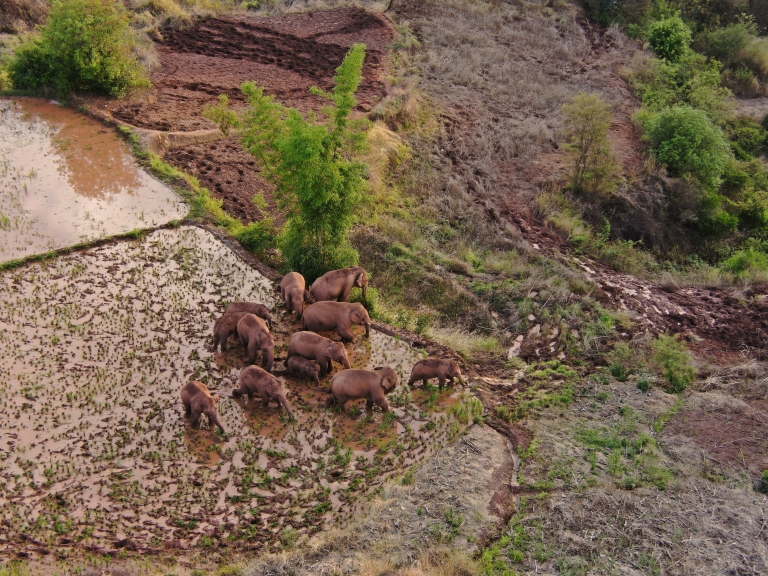 An aerial view shows wild Asian elephants grazing on a farm at a village in Jinning district of Kunming