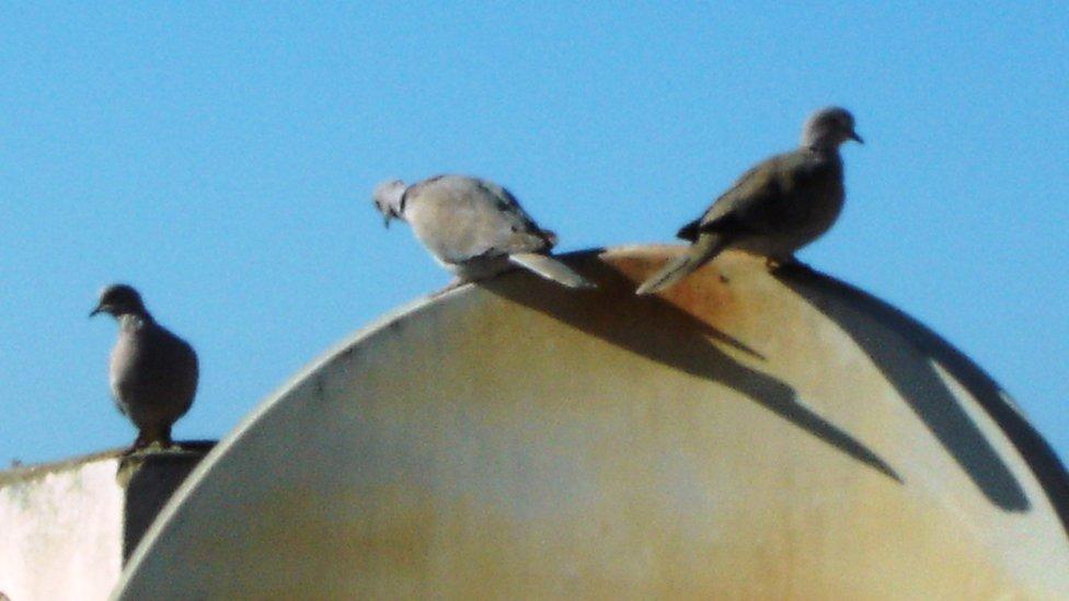 pigeons on a satellite dish