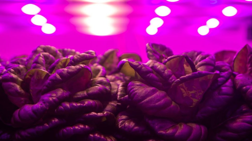 Picture of lettuce being grown under artificial lights