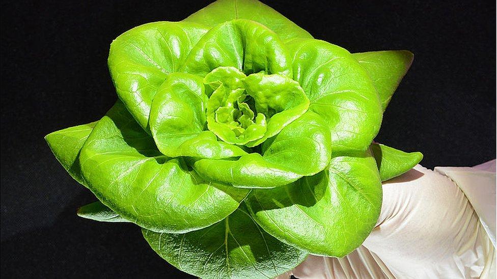 A lettuce shaped like a flower