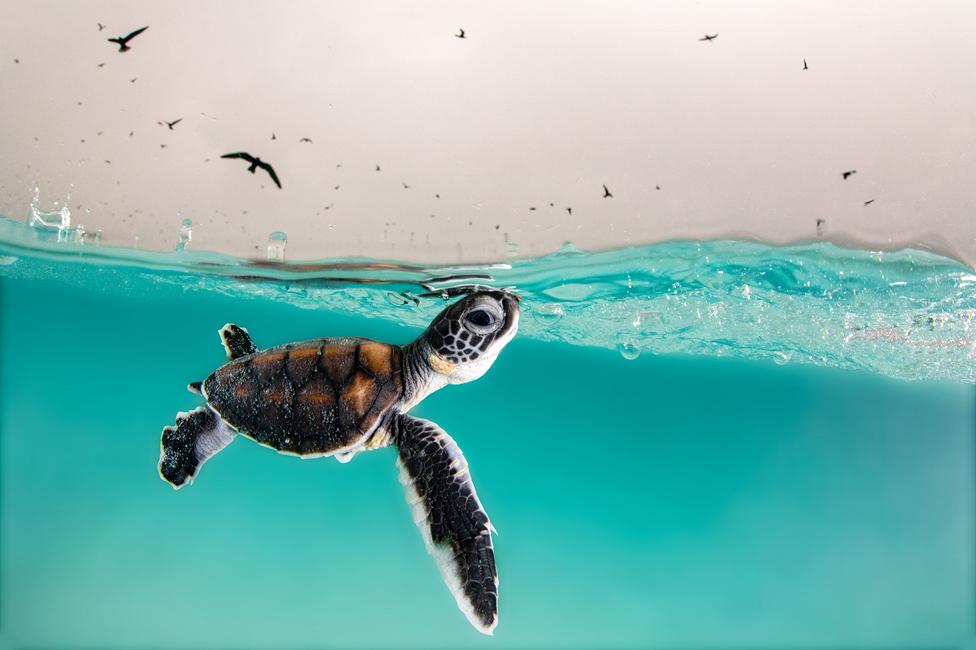 سبز سمندری کچھوے کا بچہ سانس لینے کے لیے سطح سمندر پر آتے ہوئے