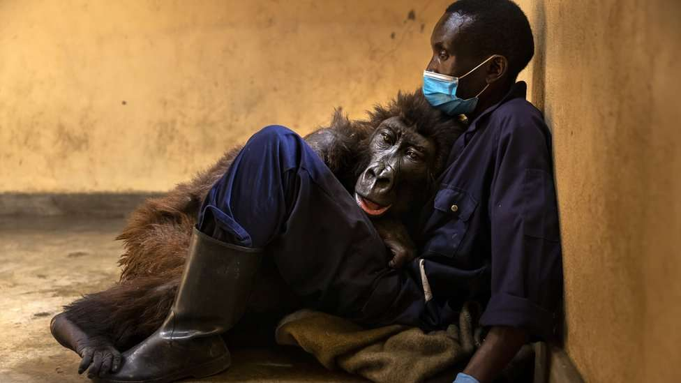 Ndakasi with her caretaker Andre Bauma, before dying days later